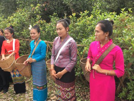 古茶林的布朗族采茶姑娘。