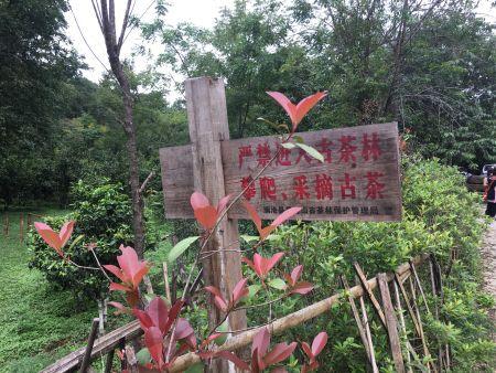 人与自然和谐共处的古茶胜境。