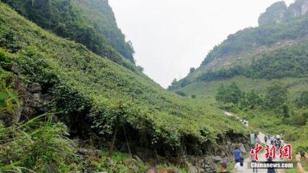 2020年9月17日,广西河池市罗城仫佬族自治县的毛葡萄园。中新社记者 翟李强 摄