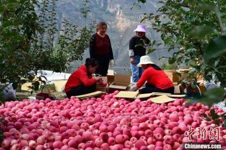 资料图:果农分拣苹果装箱。 李爱民 摄