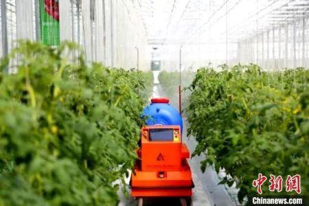"""资料图:图为""""中国寿光型""""智能玻璃温室内的机器人,可实现授粉、运输、喷药、巡检以及分拣自动化。 沙见龙 摄"""